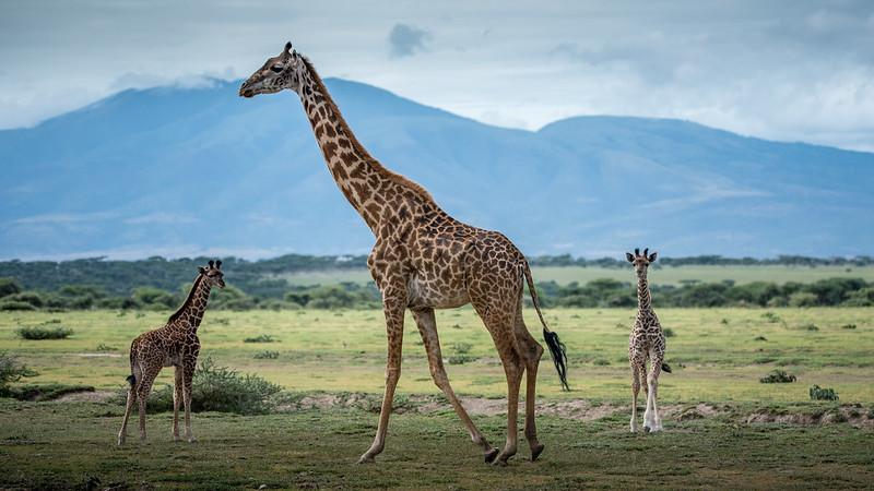 lake manyara giraffe