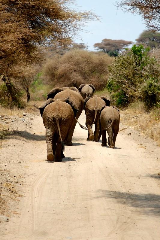 elephants tanzania