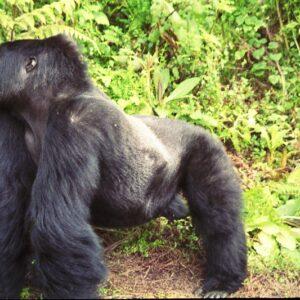 Best Gorilla Safari Companies in Africa