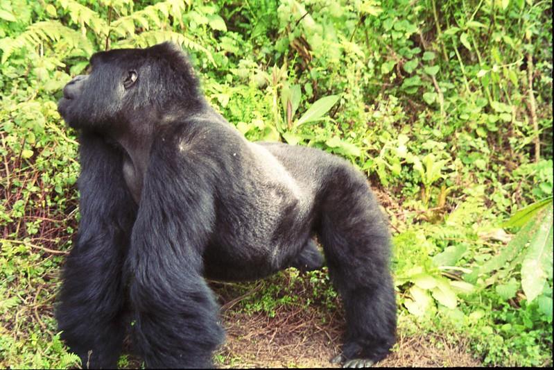 gorilla tours africa